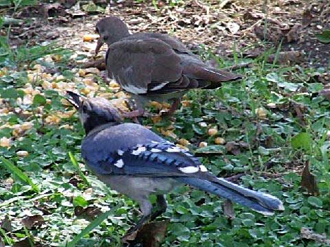 Blue Bird & Dove